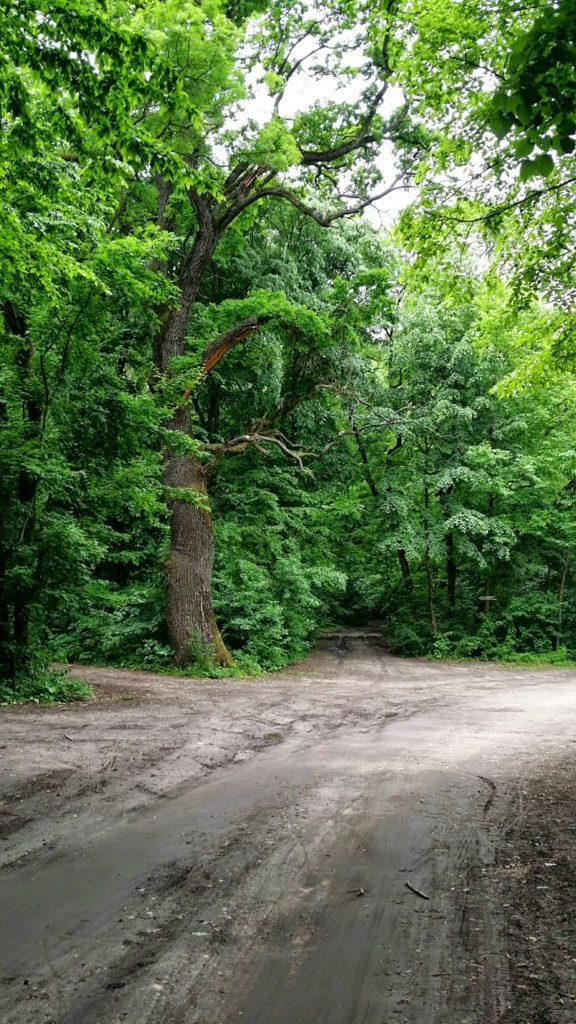 Arborii seculari din padurea Comana