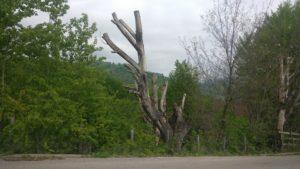 Copacii de langa Secaria