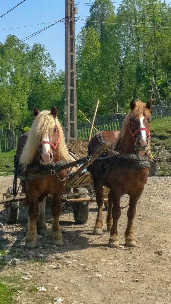 Caii de tractiune din Secaria