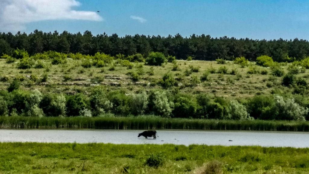 Una dintre vacile ce pasteau pe malul lacului Hagieni